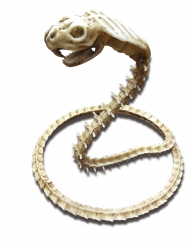Skelet Slange 50 x 42 cm Halloween